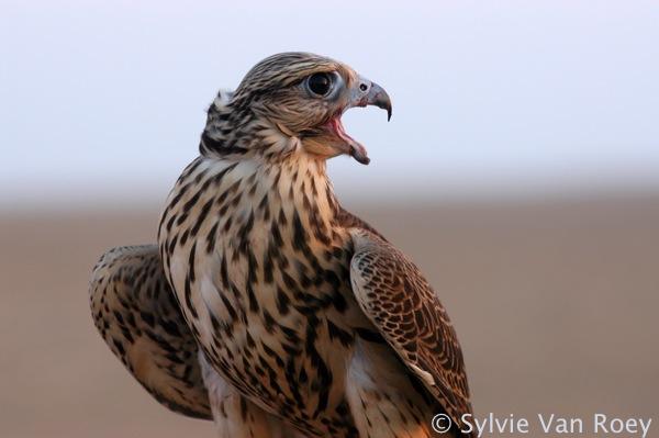 Falcon02