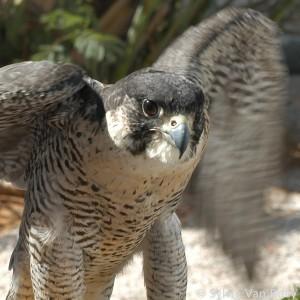Falcon11