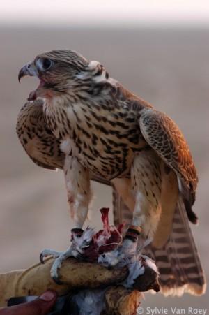 Falcon13