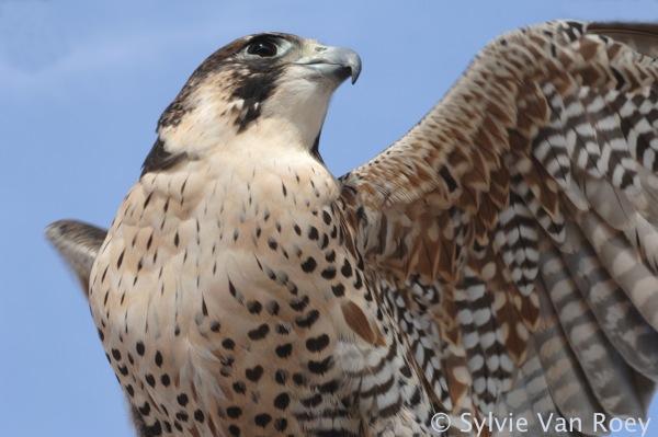 Falcon15