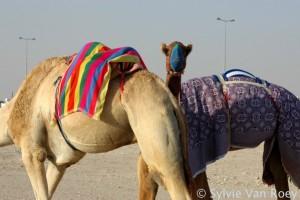 Qatar Camels 01