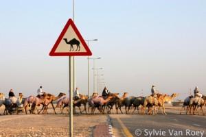 Qatar Camels 03