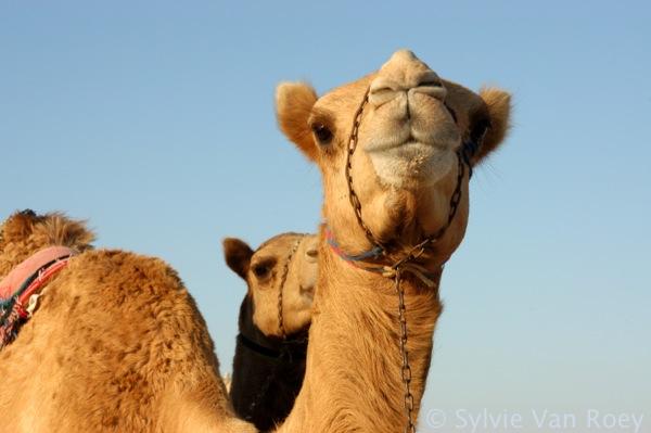 Qatar Camels 04
