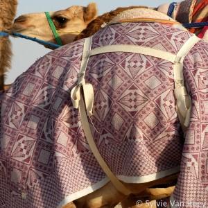 Qatar Camels 06