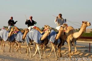 Qatar Camels 07