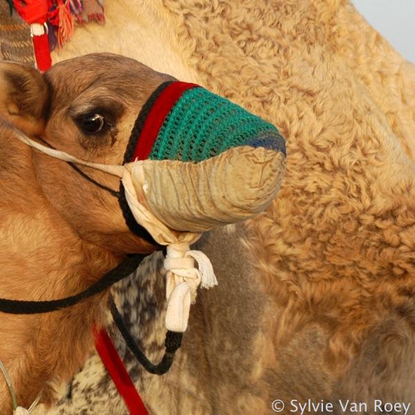 Qatar Camels 08
