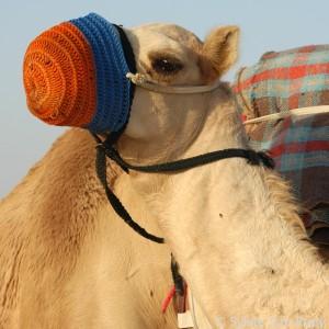 Qatar Camels 09