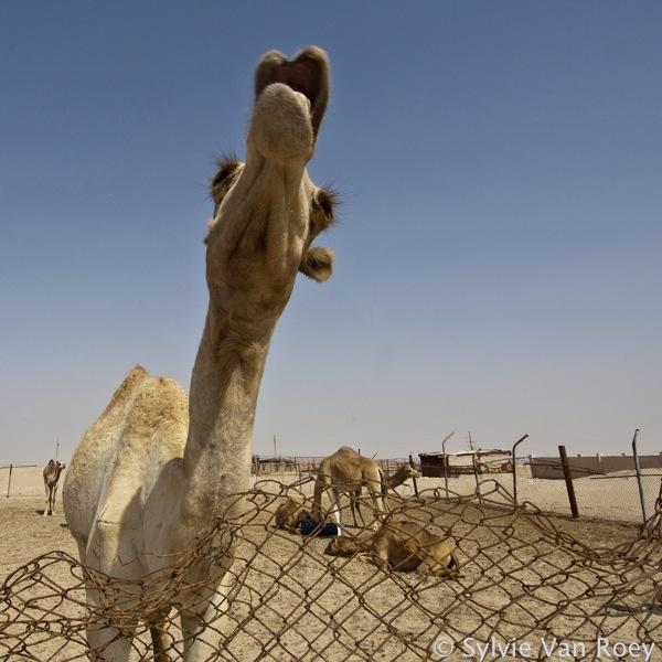 Qatar Camels 10