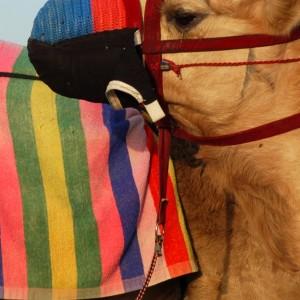 Qatar Camels 05