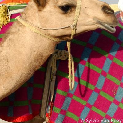 Qatar Camels